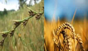 Ivraie et bon grain